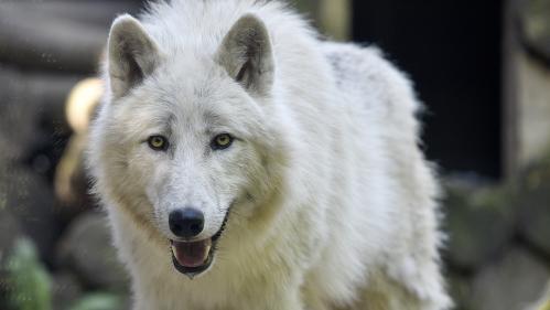 Onze questions pas si bêtes sur le loup