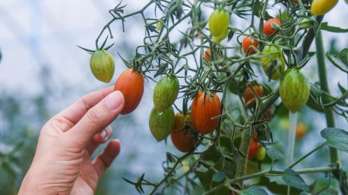 """VIDEO. """"Le bio, ça ne doit pas être industriel !"""" : un restaurateur vous explique pourquoi il ne faut pas manger de tomates bio en hiver"""