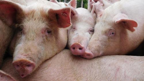 L'article à lire pour comprendre l'épidémie de peste porcine qui sévit en Asie