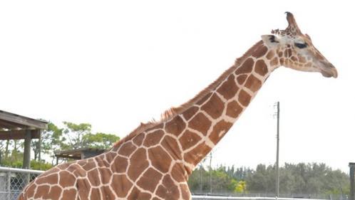 Floride : deux girafes tuées par la foudre dans un zoo