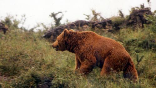 """""""Je pensais que c'était ma dernière heure"""" : un randonneur tombe nez à nez avec une ourse dans l'Ariège"""