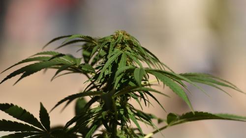 Cannabis : cinq questions sur le rapport en faveur de la légalisation en France