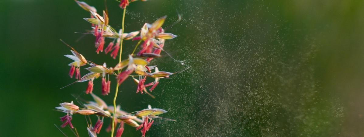 Allergie aux pollens : 26 départements placés en alerte rouge
