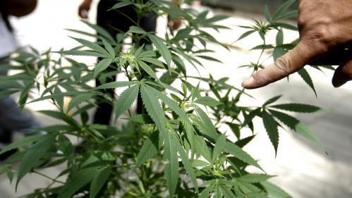 Le Conseil d'analyse économique, qui dépend du Premier ministre, recommande la légalisation du cannabis