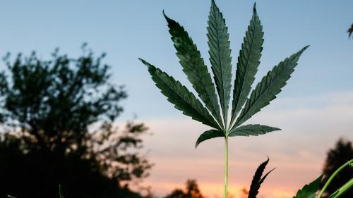 """Cannabis thérapeutique : """"Il va y avoir une expérimentation très encadrée, avec un registre qui va se mettre en place"""""""