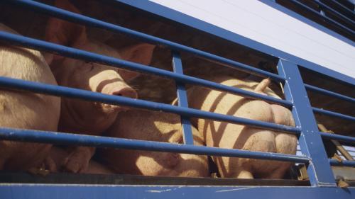 """DIRECT. Canicule : le ministre de l'Agriculture interdit pour """"quelques jours"""" le transport des animaux"""