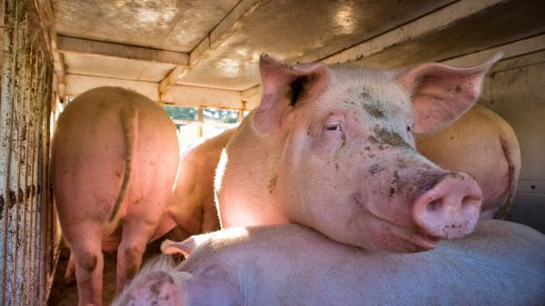 Chine : en pleine crise du porc, Pékin pioche dans ses stocks pour approvisionner le marché