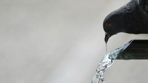 Les pompiers de la Gironde volent au secours de 2 500 pigeons assoiffés