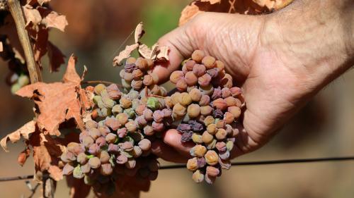 """Canicule : """"On est à l'aube d'une grave crise du vignoble"""", alerte une vigneronne de l'Hérault"""