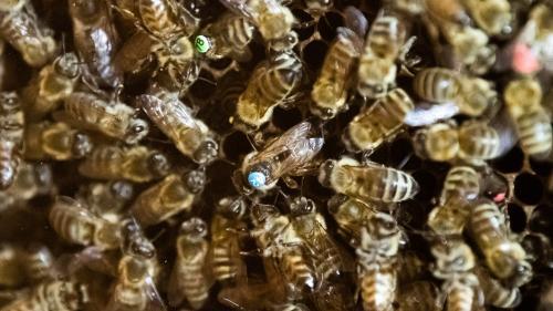 """Couple attaqué par des centaines d'abeilles : """"Elles étaient probablement énervées par le passage de l'apiculteur peu de temps auparavant"""""""