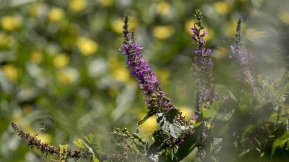 La salicaire est une plante sauvage recommandée en phytothérapie.