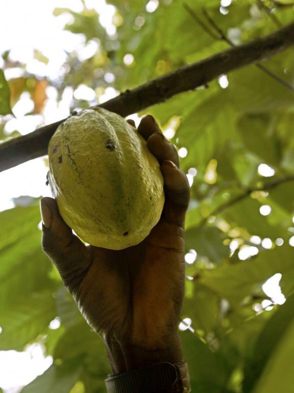 Une cabosse de cacao dans une plantation de Côte d\'Ivoire.