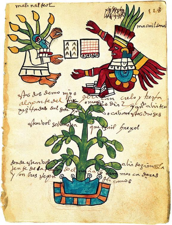 Cacaoyer du Codex Tudela (art précolombien, 1553), parchemin conservé au Musée des Amériques de Madrid.