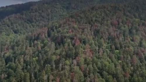 VIDEO. Sécheresse : dans les Vosges, les sapins meurent de soif