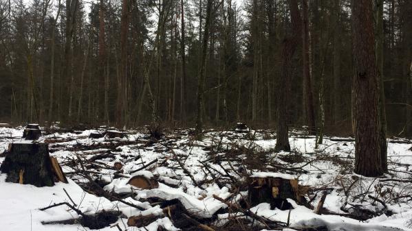 En Pologne, la dernière forêt primaire d'Europe reste sous la menace de prochains abattages