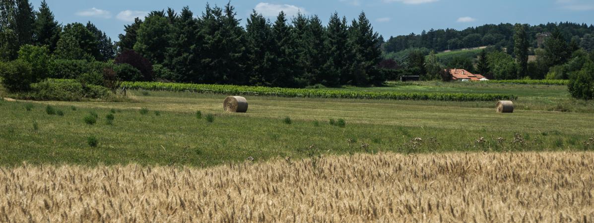 Des champs de blé dans le Beaujolais, sur la commune deSaint Germain-Nuelles (Rhône), le 9 juillet 2019.