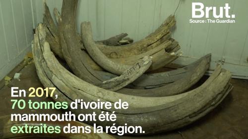 VIDEO. L'ivoire de mammouth, l'or blanc sibérien
