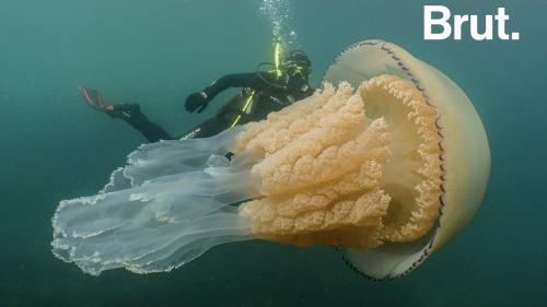 VIDEO. Une méduse géante observée dans la Manche