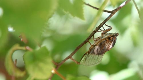 Dordogne : les cigales font trop de bruit dans son jardin, il demande à une entreprise de désinsectisation d'intervenir