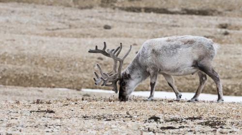 Norvège : 200 rennes retrouvés morts de faim à cause du réchauffement climatique