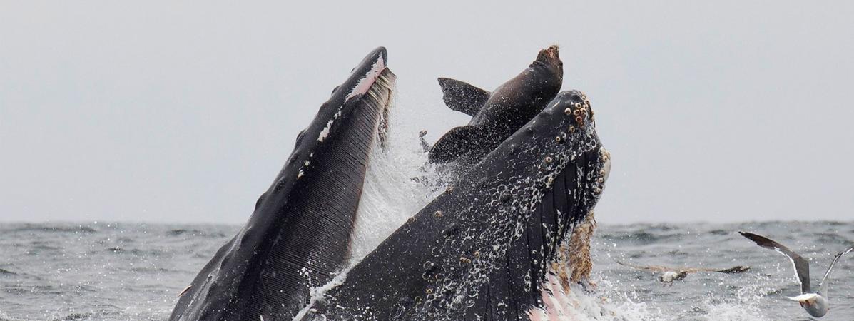 """""""Un moment que je ne reverrai jamais"""" : un Américain photographie un lion de mer dans la gueule d'une balei..."""
