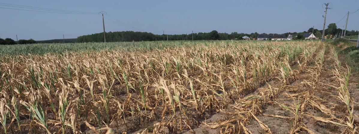 Un champ de maïs brûlé par la chaleur, à Longue-Jumelles (Maine-et-Loire), le 23 juillet 2019.