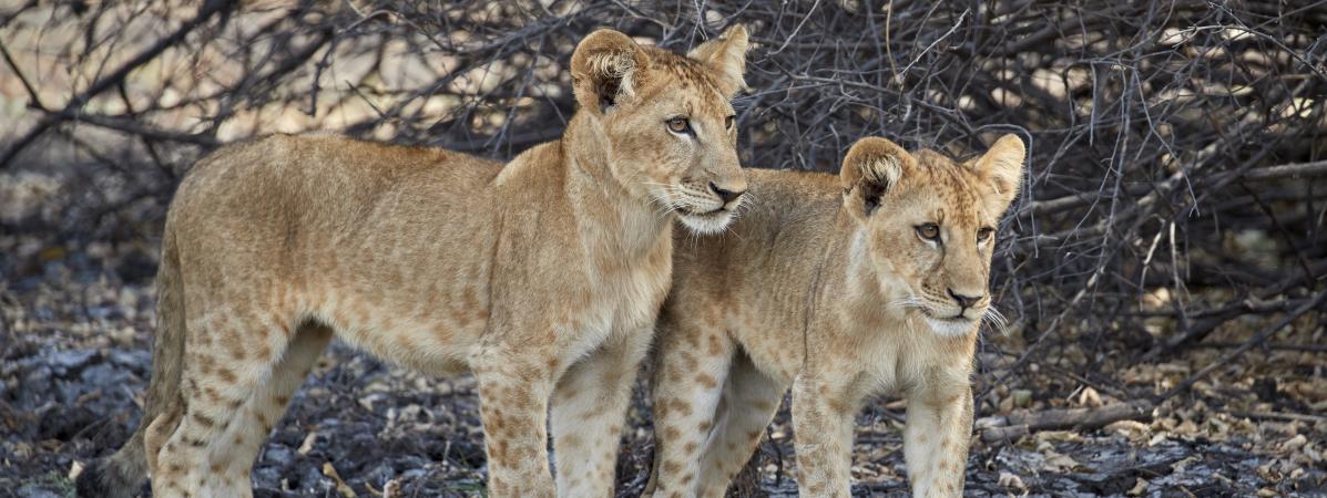 Le président tanzanien veut limiter la chasse dans une grande réserve de faune, tout en y construisant un b...