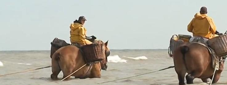 Belgique : on pêche la crevette à dos de cheval