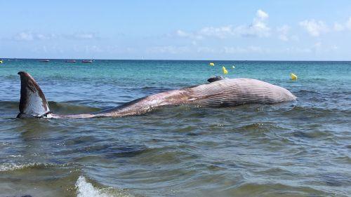 Un baleineau de plus de 10 mètres échoué sur la plage du Ster à Penmarc'h