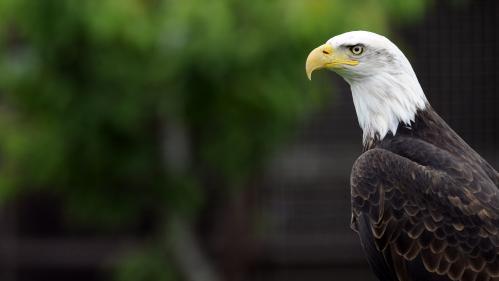 Donald Trump assouplit une loi protégeant les espèces menacées, dont le pygargue, l'emblème des Etats-Unis