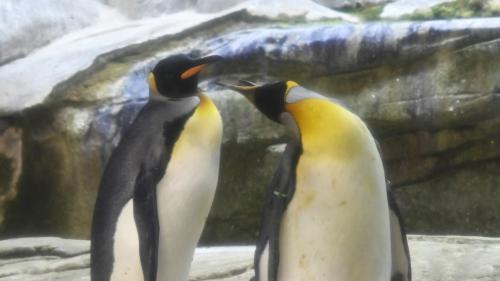 """""""Ce comportement s'inscrit dans un mécanisme de survie"""" : au zoo de Berlin, un couple de manchots mâles adopte un œuf"""