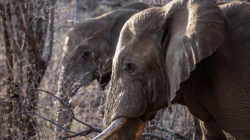 Espèces menacées : vers l'interdiction totale de la vente d'éléphants d'Afrique à des zoos
