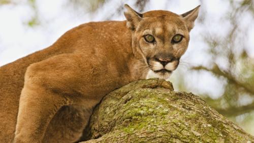 Floride : un mal mystérieux fait tituber lynx et panthères