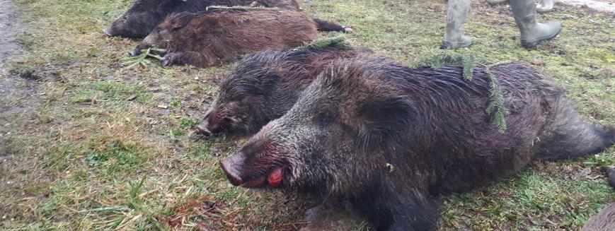 Il faut inciter les chasseurs à tuer plus de sangliers car