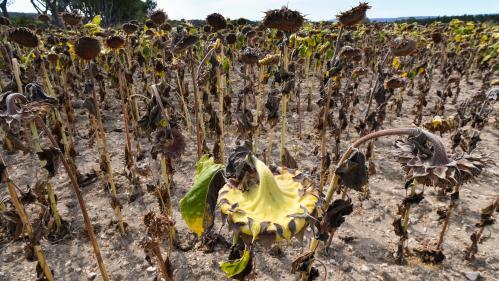 Sécheresse : huit conséquences de cet été (presque) sans pluie