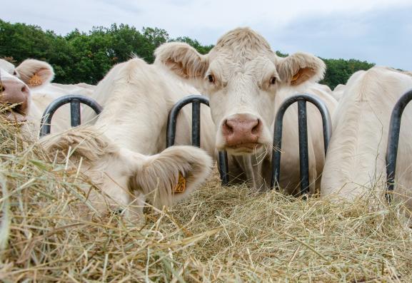 Les vaches charolaises d\'Aurélien Desforges se nourissent déjà de foin, le 27 août 2019 à Lussat (Creuse).