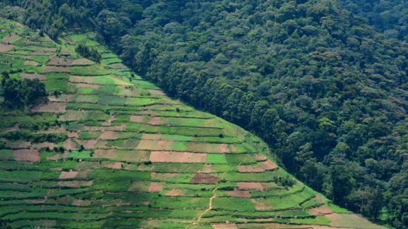Parc national de Bwindi en Ouganda. La forêt, qui abrite notamment des gorilles des montagnes, est entourée de paysans qui brûlent et coupent des arbres pour exploiter la terre.