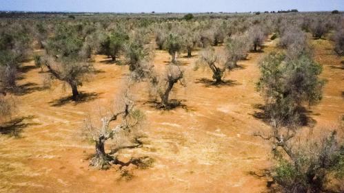 """La bactérie """"tueuse d'oliviers"""" détectée pour la première fois sur des oliviers en France"""
