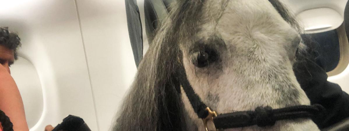 Une Américaine voyage en avion avec son cheval nain pour gérer ses crises d'angoisse