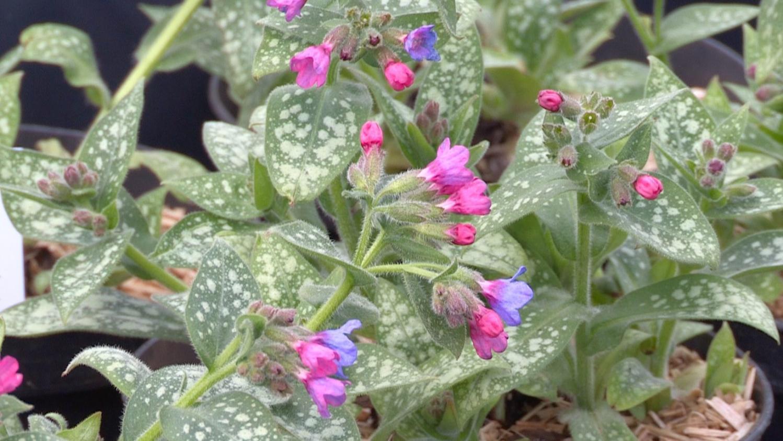 Fleurs Pour Mi Ombre jardin. les pulmonaires, des plantes vivaces pour l'ombre ou