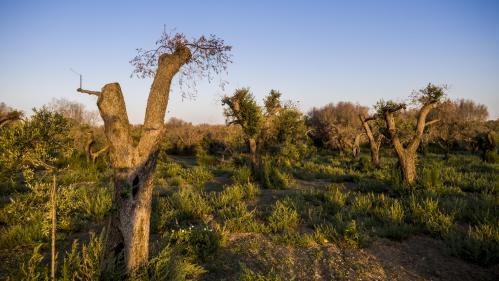 """Cinq questions sur Xylella fastidiosa, la bactérie """"tueuse d'oliviers"""""""