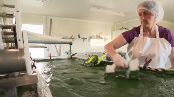 Santé : la spiruline, une algue qui a la cote