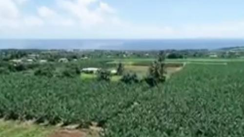 Martinique : 40% des sols contaminés par le chlordécone, un insecticide probablement cancérigène