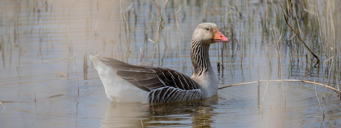 L'État est-il condamné chaque année pour des autorisations de chasse d'oiseaux protégés ?