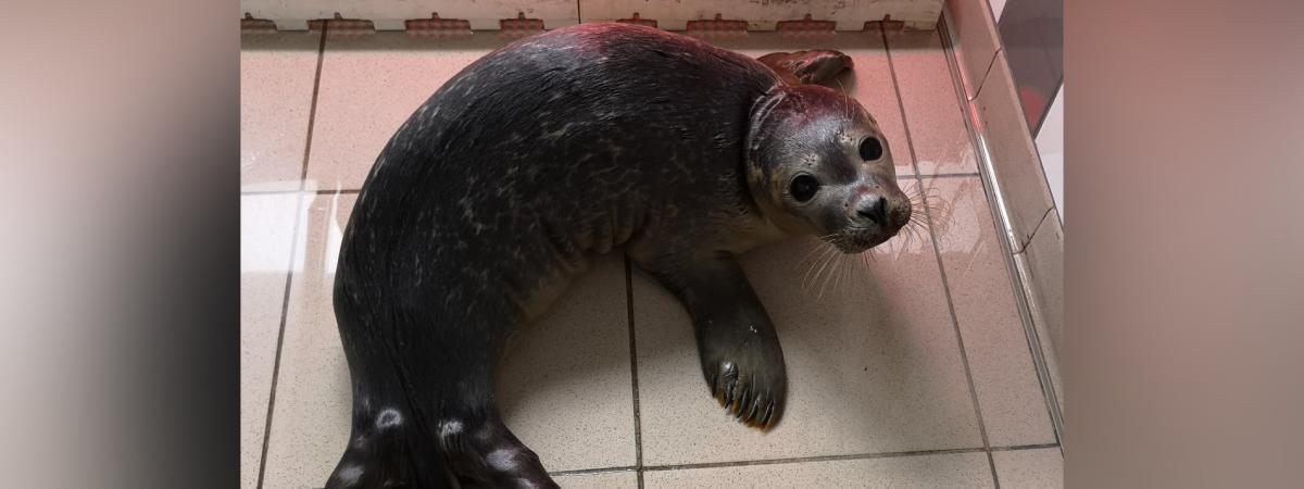Nord : un bébé phoque battu à mort sur une plage, une plainte contre un pêcheur déposée
