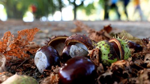 """Ne confondez pas les marrons """"toxiques"""" avec les châtaignes durant l'automne, alerte l'Anses"""
