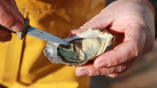 """""""On a constaté jusqu'à 60% de mortalité des huîtres"""": les néfastes conséquences du réchauffement climatique sur les coquillages"""