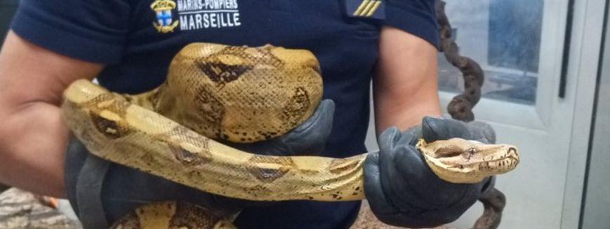 Le boa a été capturé samedi après-midi par les pompiers de Marseille.