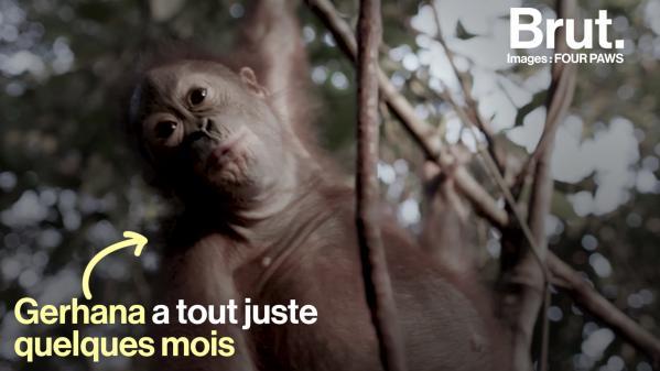 VIDEO. Un bébé orang-outan sauvé après avoir vu sa mère mourir sous ses yeux