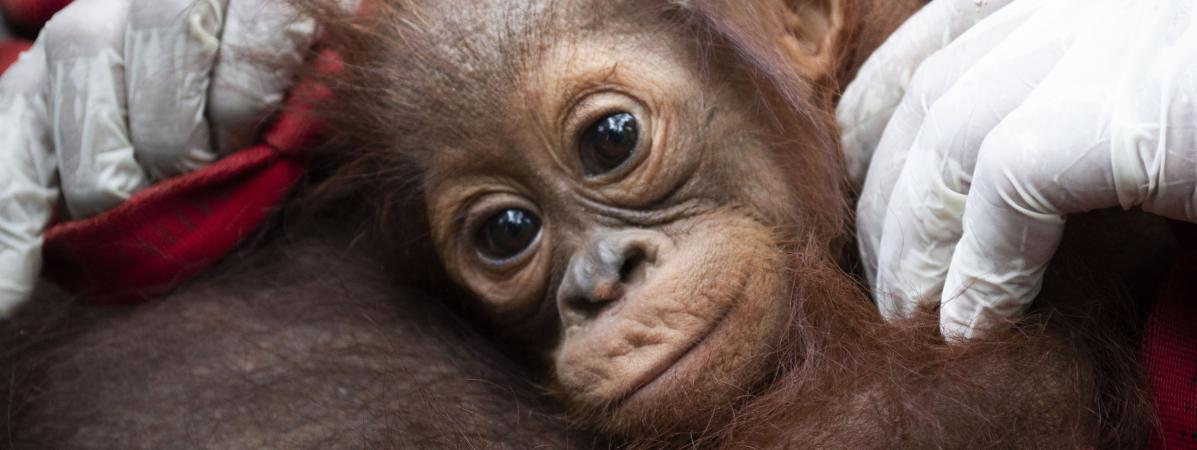 VIDEO. En Indonésie, des sauveteurs déplacent deux orangs-outans pour les sauver des incendies qui ravagent...